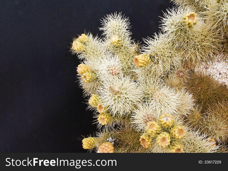 Cholla cactus profusion