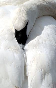 Swan Resting Head On Back Stock Photos