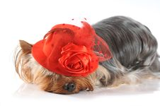 Free Cute Photo Of Yorkshire Terrier In Red Hat Royalty Free Stock Photo - 23621995