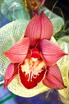 Free Bright Red Orchid Royalty Free Stock Photos - 23625648