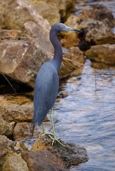 Free Little Blue Heron Royalty Free Stock Images - 23629859