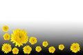 Free Flower Marigold Yellow Stock Images - 23637514