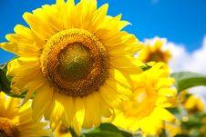 Free Beautiful Sunflowers Royalty Free Stock Photos - 23630248