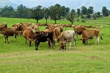 Free Cows Grazing In Pastures Royalty Free Stock Photos - 23630418