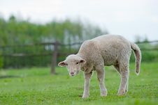 Free Cute Young Sheep Royalty Free Stock Image - 23632706