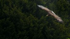 Free White-tailed Eagle &x28;Haliaeetus Albicilla&x29; Stock Photos - 23634383