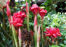 Free Torch Ginger Royalty Free Stock Image - 23635776
