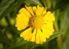 Free Close Up Of Yellow Helenium Bloom Royalty Free Stock Photography - 23635977
