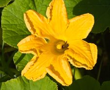Free Yellow Pumpkin Squash Blossom With A Bumble Bee Stock Photography - 23636202