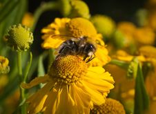 Free Bee On A Yellow Flower Helenium Royalty Free Stock Photo - 23636215