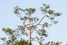 Free Tree Top Royalty Free Stock Photo - 23636675