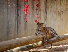 Free Leopard &x28;Panthera Pardus&x29; Lying On The Tree Royalty Free Stock Images - 23637029