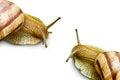 Free Two Grape Snail Royalty Free Stock Image - 23640776