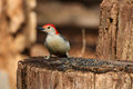 Free Red-bellied Woodpecker Royalty Free Stock Photos - 23646258