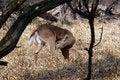 Free White-tailed Deer Stock Photos - 23646523
