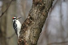 Free Hairy Woodpecker Male Royalty Free Stock Photos - 23646188