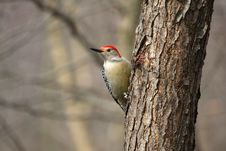 Free Red-bellied Woodpecker Royalty Free Stock Photography - 23646417