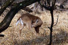 White-tailed Deer Stock Photos