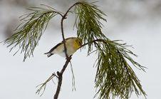 Free Yellow Bird Sitting On Pine Branch. Royalty Free Stock Photo - 23649065