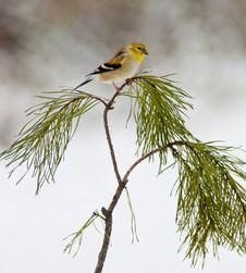 Free Yellow Bird Sitting On Pine Branch. Stock Photo - 23649090