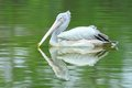 Free Spot-Billed Pelican Stock Photo - 23652050