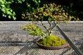 Free Bonsai Tree Royalty Free Stock Photos - 23657288