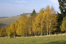 Free Birch Trees In Autumn Stock Images - 23651314