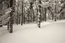 Spruce Trees In The Snow Royalty Free Stock Photography
