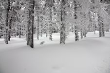 Free Frozen Forest Royalty Free Stock Image - 23651946