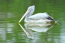 Spot-Billed Pelican Stock Photo