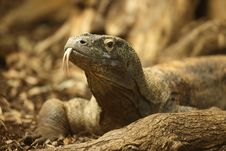 Free Komodo Dragon Stock Image - 23656811