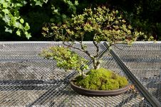 Free Bonsai Tree Royalty Free Stock Photos - 23657288