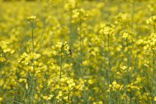 Free Field Of Rape Flowers Stock Image - 23659211
