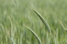 Free Green Barley Stock Photography - 23659232