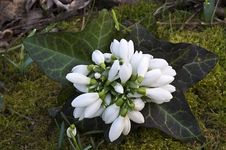 Spring Snowdrop Flowers Bouquet Stock Image