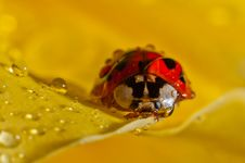 Free Weevil On A Petal Royalty Free Stock Photo - 23659645