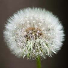 Free Untouched Dandelion Royalty Free Stock Images - 23659729