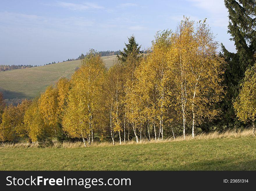 Birch trees in autumn
