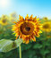 Free Sunflower Field Stock Images - 23657054
