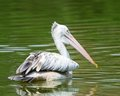 Free Spot-Billed Pelican Royalty Free Stock Image - 23663336