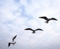 Free Seagull Royalty Free Stock Photos - 23667838