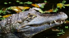 Free Crocodile Stock Photography - 23663412
