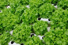 Free Hydroponic Vegetable Royalty Free Stock Image - 23663706
