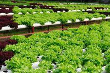 Free Hydroponic Vegetable Stock Photo - 23663730