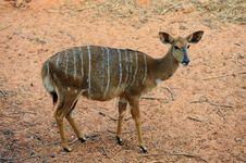 Free Nyala Antelope &x28;Female&x29; Royalty Free Stock Image - 23663786