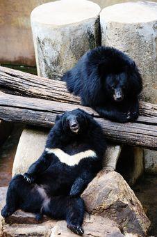 Free Asiatic Black Bear Stock Photography - 23663972