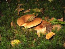 Free Mushrooms Under A Birch Stock Photos - 23667803