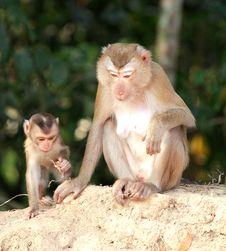 Free Mother Monkey And Baby Monkey Stock Images - 23668114