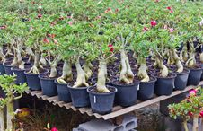 Free Adenium Garden. Stock Image - 23671881