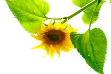 A Smiling Sunflower Stock Photos